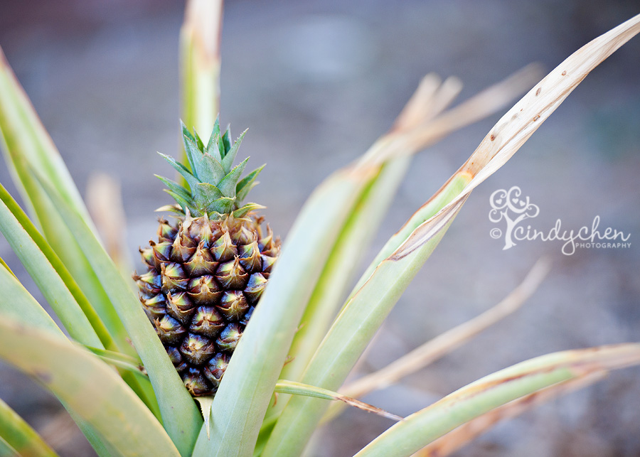 homegrown pineapple in ladera ranch ca